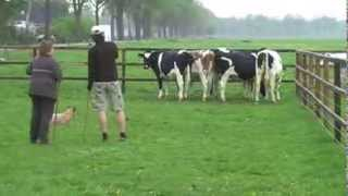 Australian Cattle Dog Herding Cows First Time