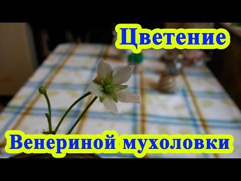 Цветение венериной мухоловки