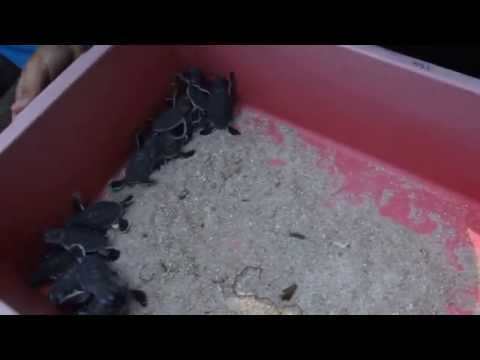 Marine Turtle conservation programme in Malaysia (1/2)