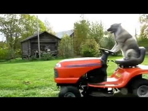Cool dog on a lawn mower