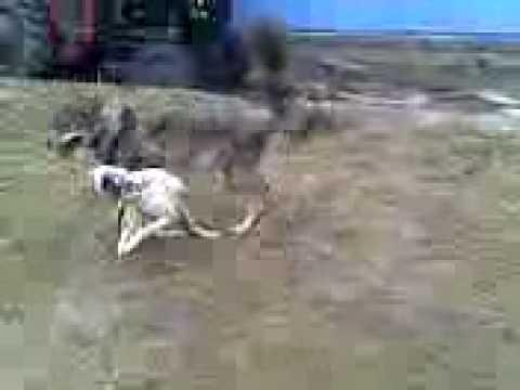 Ujku Dalmati Mramor