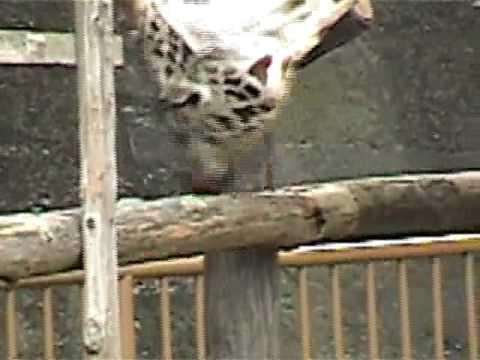 キリンの異常行動/動物園