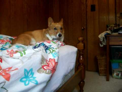 The Very Exciting Dog 2 - Pembroke Welsh Corgi