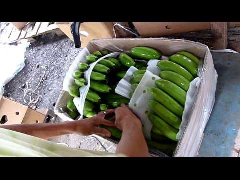 www.lolitabanana.com,cavendish banana philippine, class A  , high quality