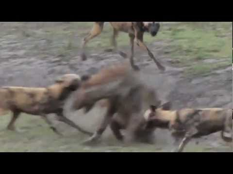 Cães Selvagens vs Hiena
