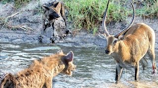 Hyenas Steal Wild Dog Kill in Epic Battle - Twice!