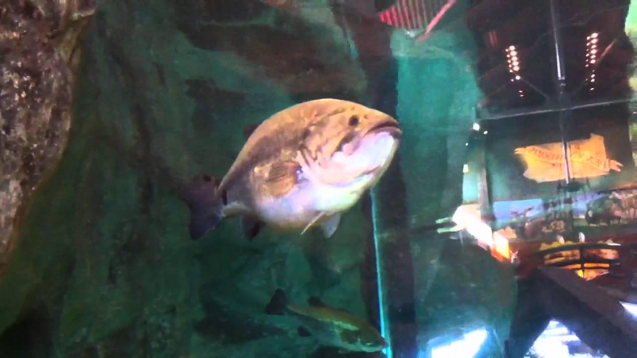 Basspro Harrisburg Aquarium With Largemouth Catfish And