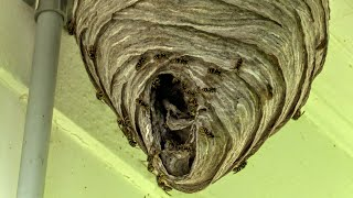 Yellow Jackets Nest Removal Wasp Nest Dolichovespula Arenaria Nest