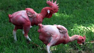 Top 15 Weirdest Chicken Breeds