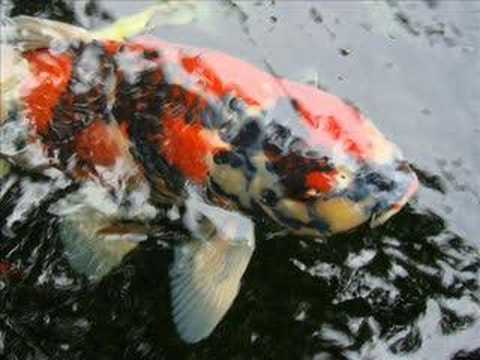 Guan 39 s koi japanese carp fish pond pictures videos for Koi carp fish information
