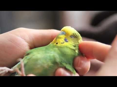 Boo, our courageous injured pet parakeet