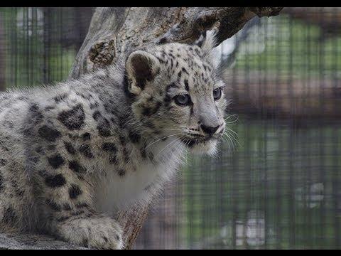 木から降りられなくて不安なユキヒョウの赤ちゃん〜Snow Leopard