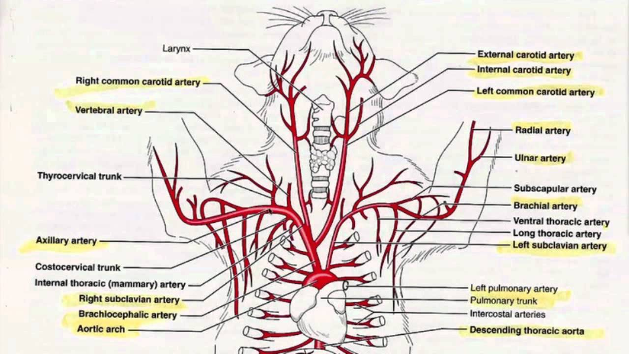 arteries in the upper body tutorial youtube cat body diagram unlabeled