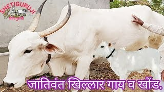 जातिवंत खिल्लार गाय व खोंड. Khilar cow and Bull.