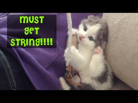 Scottish Fold Kitten Playing with String