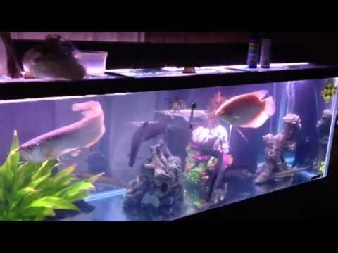 Arowana clown knife fish - YouTube