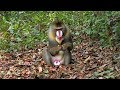 An ex-alpha male mandrill, thrown out by the horde, now a solitary, meets a mirror in the rainforest