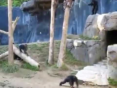 Chimpanzee Brawl..Crazy Chimps Fighting in LA Zoo