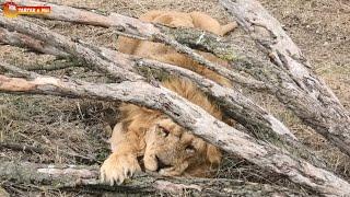 Ну и ветрище! Малыш в своем репертуаре, гуляющий Персей, пузатая Лолка. Тайган. Life lions in Taigan