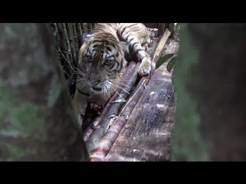 A Sumatran tiger saved, yet lost to the wild