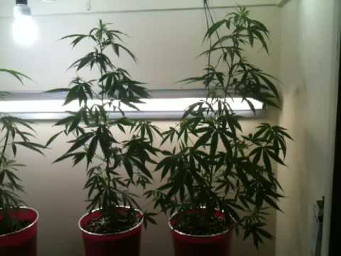 Marijuana fluorescent grow closet 2