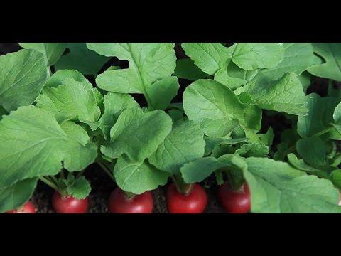 Любимые сорта редиски 2017 года в реальности + секреты выращивания !!!!