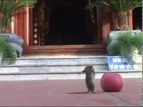 Chuột Lễ Phật