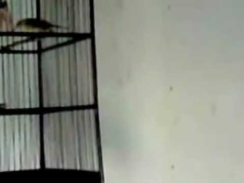 Video: burung pleci ngerol.MP4 480x360 px - VideoPotato.com