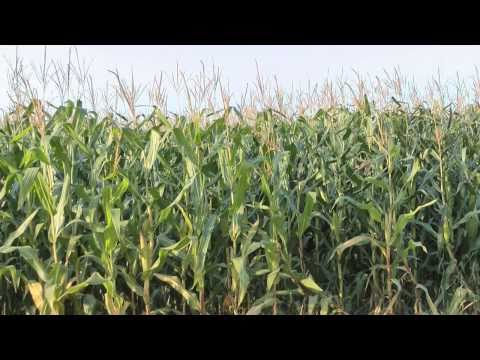 Maize without pollen: No more outcrossing?