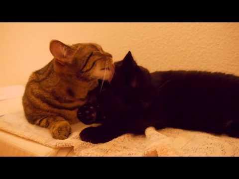 видео как кошки разговаривают