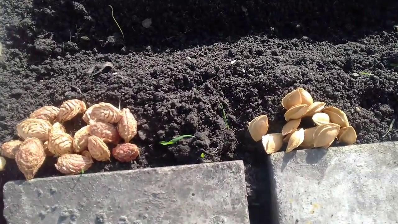 Можно ли из косточки вырастить персик? Конечно