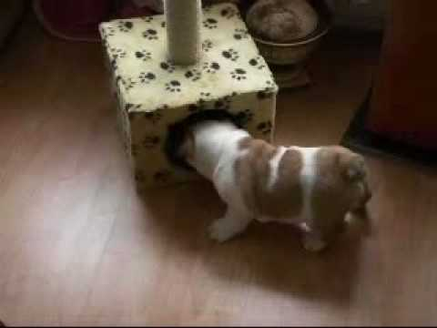 Funny bulldog puppies