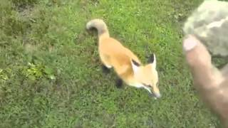 Fox Plays Fetch