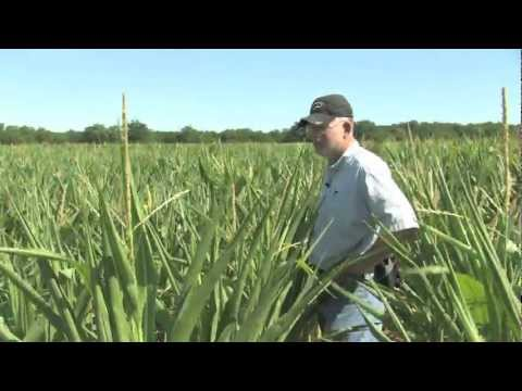 Drought During Corn Pollination