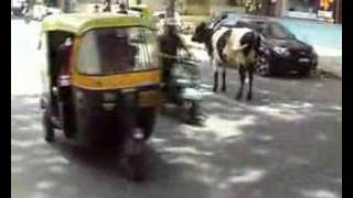 Cow on street of Bangalore