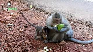 Kidnapper monkey fight to get baby monkey from his mother, baby scare and cry loudly