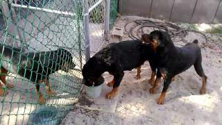 Sugar won't let Munich mate GERMAN ROTTWEILERS AKC @ CLIFFORD KENNELS Rottweiler Collector Kennel