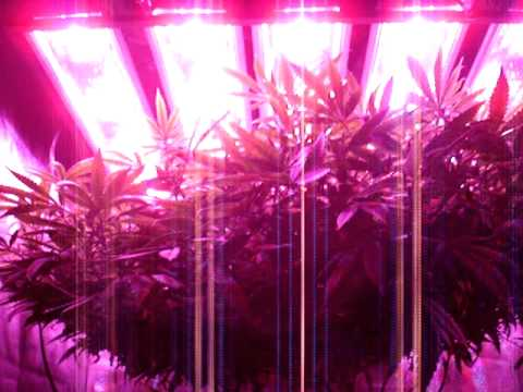 Marijuana Grow with Custom 420W LED Grow Light. Aeroponics tent. scrog - Week 3