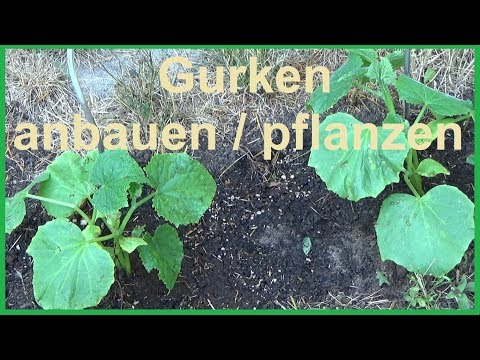 Gurken anbauen Gurken pflanzen Anbau von Gurken einpflanzen