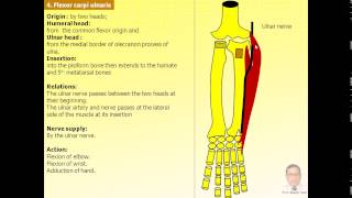Magdy Said,Anatomy series,Upper limb,14- muscles of the front of forearm.avi