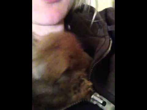 Toy poodle chewing on hair