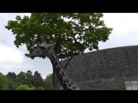 2011年6月4日 円山動物園 マサイキリンのナナコ