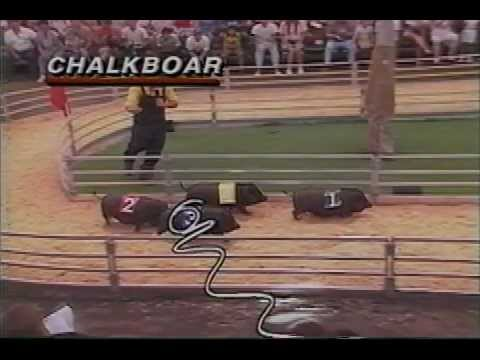 Pig Racing Disneyland Awesome - Funny!