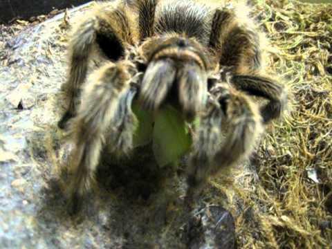 Tarantula Web Tarantula Eats And Spins Web