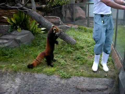神戸市王子動物園立つレッサーパンダ20090606