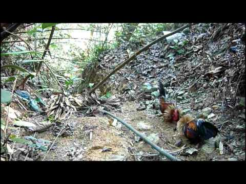 Ayam hutan  Si Bulat 3