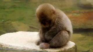 Snow Monkey 01 -cute baby monkeys-