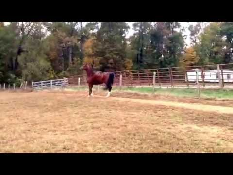 Just One Kiss- Half Arabian Dutch Harness Mare for sale.  Contact Shannon Clark 919-542-7810