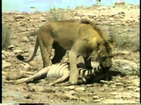 Predadores selvagens - Leão solitário ataca zebra.avi