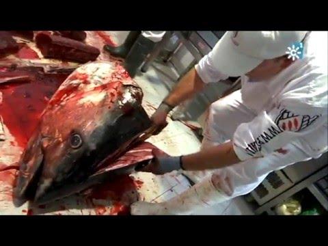 Ronqueo y despiece de un atún rojo de almadraba de 312 kilos